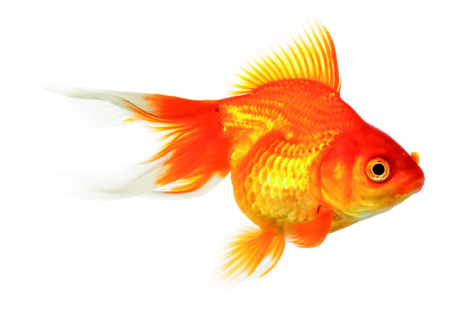pesci rossi istruzioni per l 39 uso
